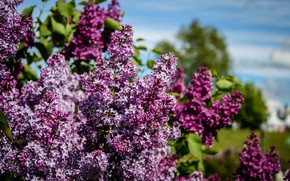 Picture flowers, nature, Park, Moscow, Museum, the smell, flowering, lilac, aroma, shrub, reserve, Tsaritsyno