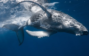Picture sea, the ocean, kit, under water, Humpback whale, Gorbach, big fish