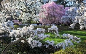 Picture grass, the sun, Park, spring, Brooklyn, garden, USA, flowering trees, Brooklyn Botanic Garden