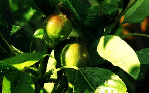 Picture tree, branch, Summer, Pear