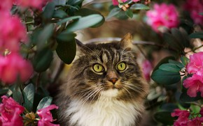 Picture cat, cat, look, face, leaves, flowers, nature, background, portrait, blur, fluffy, garden, striped, Azalea, rhododendrons, …