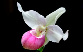 Picture petals, exotic, Orchid