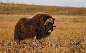 Picture nature, horns, musk ox