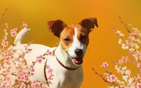 Wallpaper background, flowers, Jack Russell Terrier, look, dog