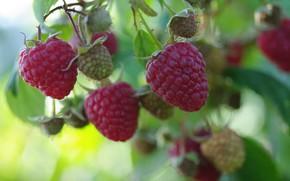 Picture autumn, nature, berries, raspberry, beauty, positive, harvest, sweet, September, treat, delight