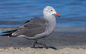 Picture water, bird, beak, Seagull of Heermann