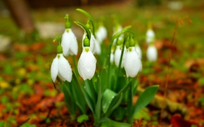 Picture Snowdrops, Snowdrops, White flowers, White flowers