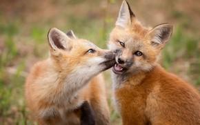 Wallpaper cubs, Fox, the game, Fox