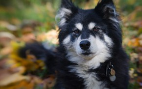 Picture look, face, portrait, dog, bokeh, Finnish lapphund