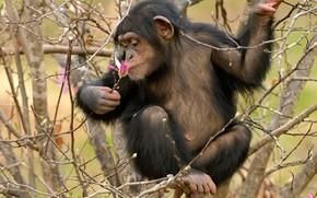 Wallpaper flower, monkey, branches, cub, Chimpanzees, Magnolia, tree