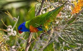 Picture bird, beak, parrot, multicolor lorikeet