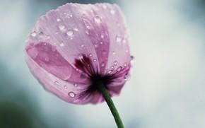 Picture flower, drops, petals
