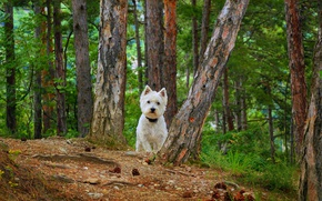 Picture Dog, Dog, The West highland white Terrier
