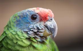 Picture background, bird, parrot, beak