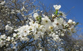 Picture flowers, flowering tree, spring 2018, mamala ©