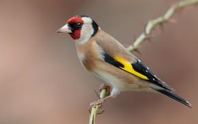 Picture birds, branch, black-headed goldfinch