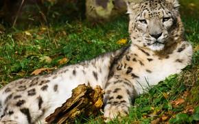 Picture Cat, Fur, Predator, Animal, Snow Leopard