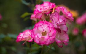 Wallpaper macro, roses, petals