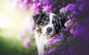 Picture look, face, dog, lilac, bokeh, Australian shepherd