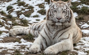 Wallpaper handsome, predator, white, tiger