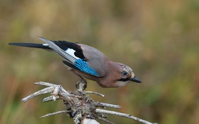 Picture birds, branch, Jay