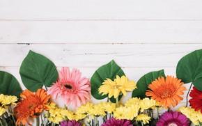 Picture leaves, flowers, gerbera, chrysanthemum