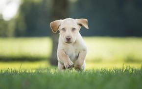 Picture grass, puppy, walk, bokeh, doggie