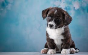 Wallpaper Corgi, puppy, cute
