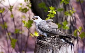 Picture background, bird, cuckoo