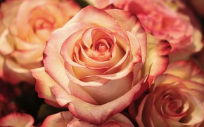 Picture roses, bouquet, buds