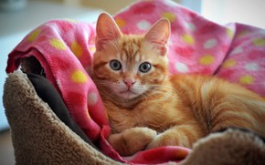Picture cat, cat, look, comfort, kitty, pink, blanket, red, muzzle, fabric, lies, kitty, bench, rookery, curled