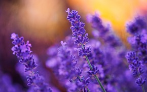 Picture nature, plant, lavender