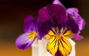 Picture Macro, Flowers, Pansy, Macro, Pansies