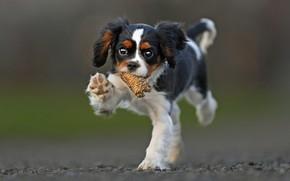 Picture puppy, walk, bokeh, doggie, Cavalier-king-Charles-Spaniel