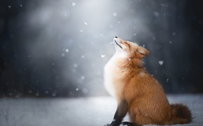 Picture winter, snow, Fox, Fox