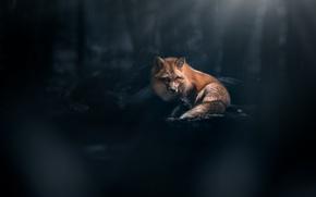 Wallpaper background, Fox, red, bokeh