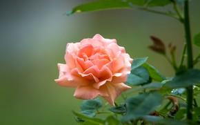 Picture rose, petals, peach