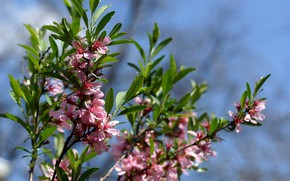 Picture branches, spring, Apple, blooming