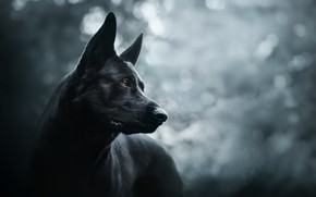 Wallpaper each, dog, Prince of darkness