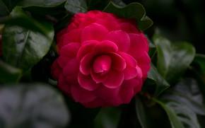 Picture leaves, pink, tenderness, petals, Bud, flowering, Camellia