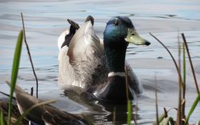 Wallpaper lake, duck, Drake