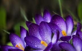 Picture drops, petals, Krokus, saffron