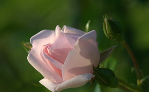Picture macro, tenderness, rose, buds