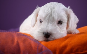 Picture white, muzzle, puppy