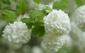 Picture macro, branch, white, inflorescence, bokeh, Kalina, Baldoni