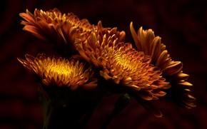 Picture flowers, close-up, the dark background, bright, bouquet, petals, orange, chrysanthemum, fire