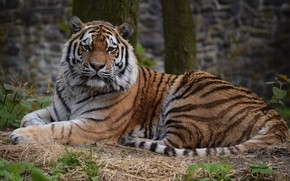 Picture nature, tiger, lies