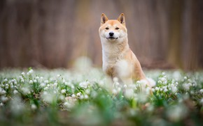 Picture look, face, flowers, nature, Park, background, mood, glade, dog, spring, blur, snowdrops, puppy, walk, sitting, …