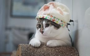 Picture cat, hat, cat, cutie