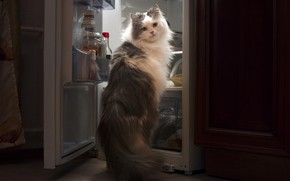 Picture cat, food, the situation, refrigerator, thief